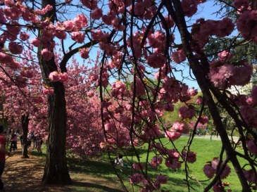 CherryBlossom2014